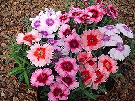 Dianthus Ideal Mixed 6 x 6 packs