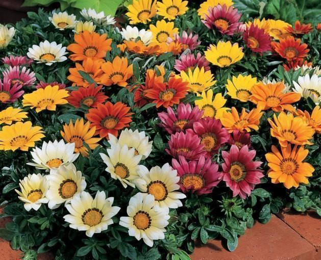 Gazania Frosty Kiss Mixed 6 x 6 packs
