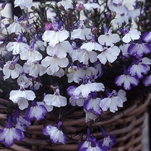 Lobelia Trailing Blue Splash 6 x 6 packs