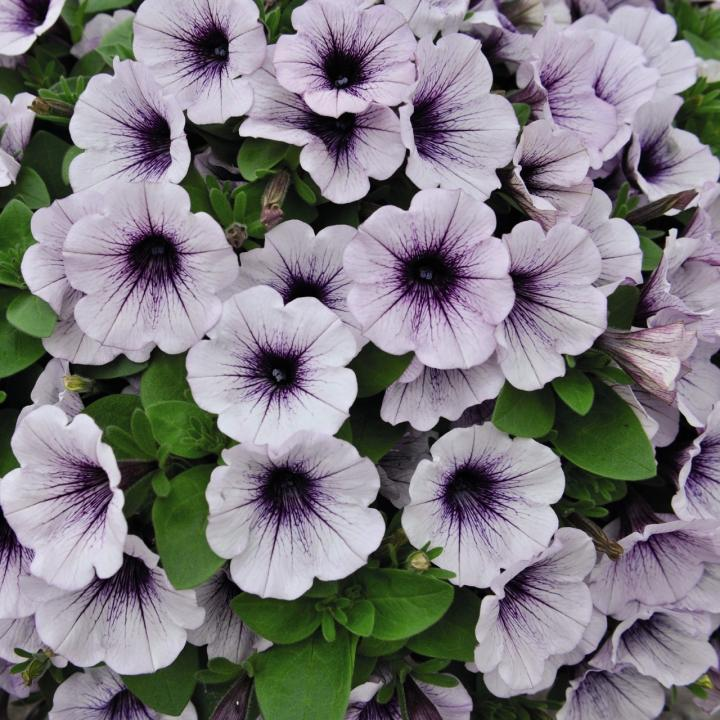 Petunia Ice Blue 6 x 6 packs