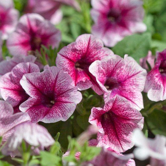 Petunia Ice Raspberry 6 x 6 packs