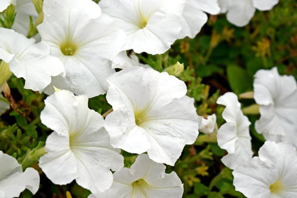 Petunia Stereo White 6 x 6 packs