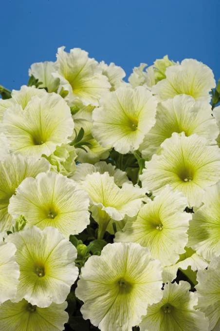 Petunia Stereo Yellow 6 x 6 packs