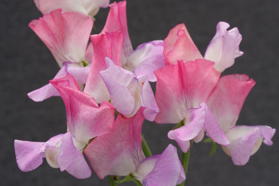 Sweet Pea Hammett's High Scent 6 x 6 packs