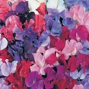Sweet Pea Perfume Delight 6 x 6 packs