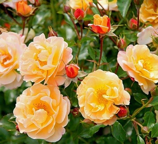 Rose flower carpet amber mightylinksfo