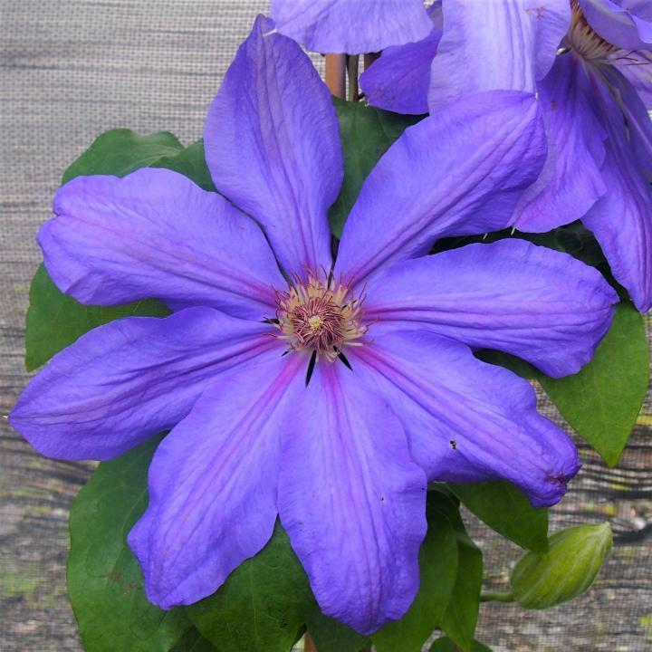 Clematis Lawsoniana