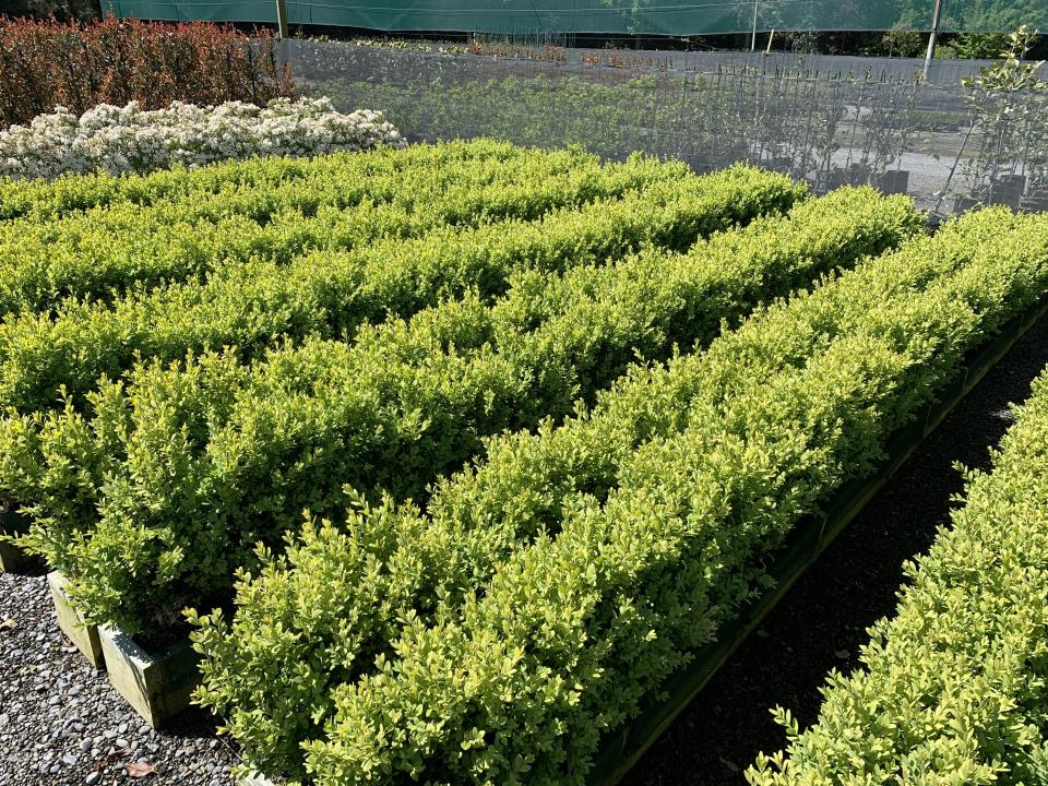 Buxus sempervirens - Box Hedging - Instant Hedging