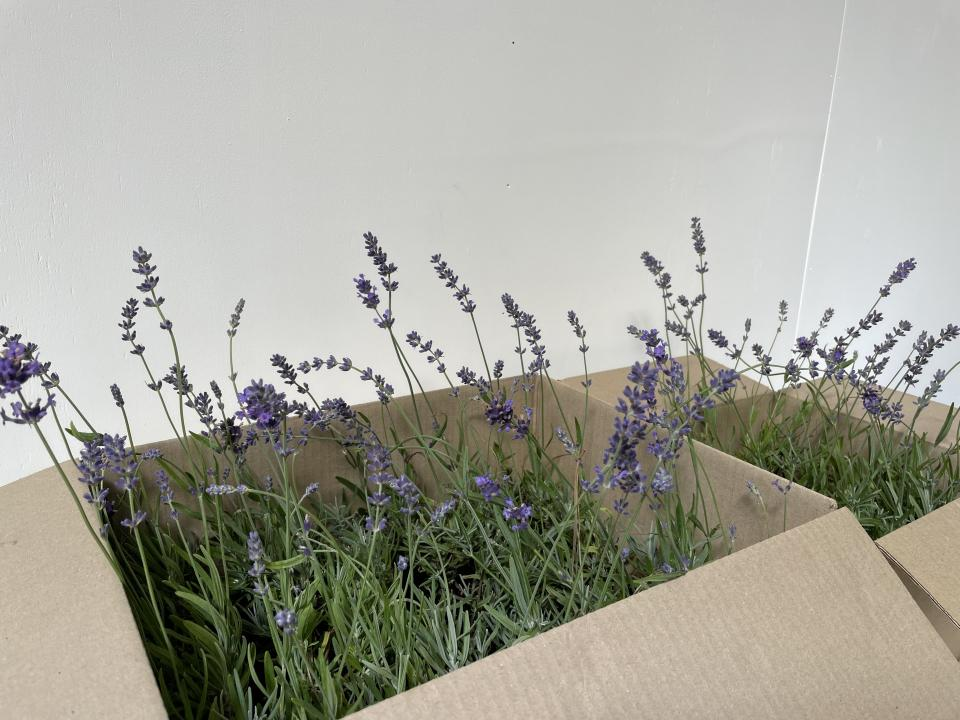 Lavender Super - FREE DELIVERY - 12 x plants