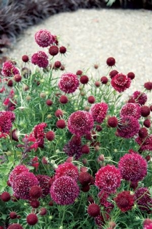 Scabiosa Crimson Cloud