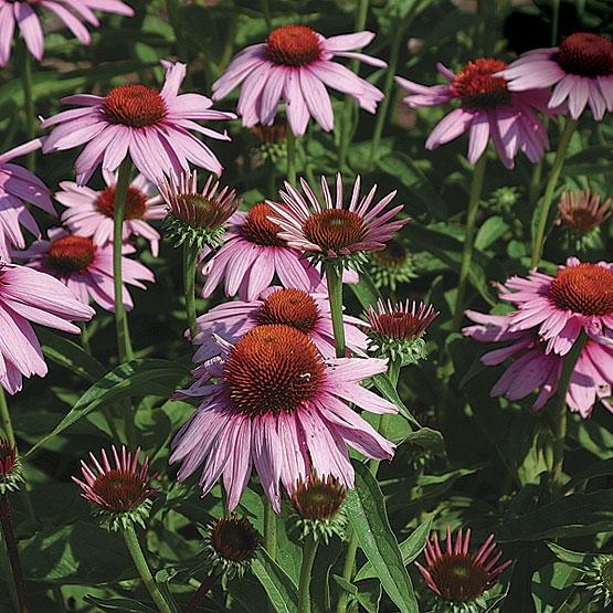 echinacea purpurea magnus 9cm pot. Black Bedroom Furniture Sets. Home Design Ideas