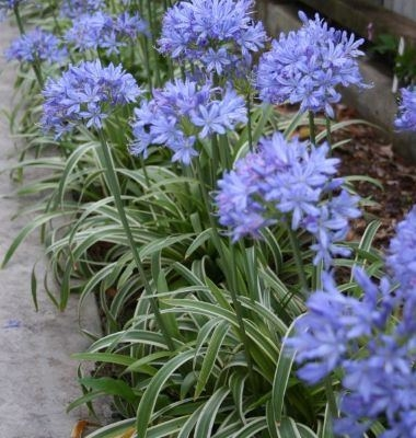 Agapanthus Thunderstorm