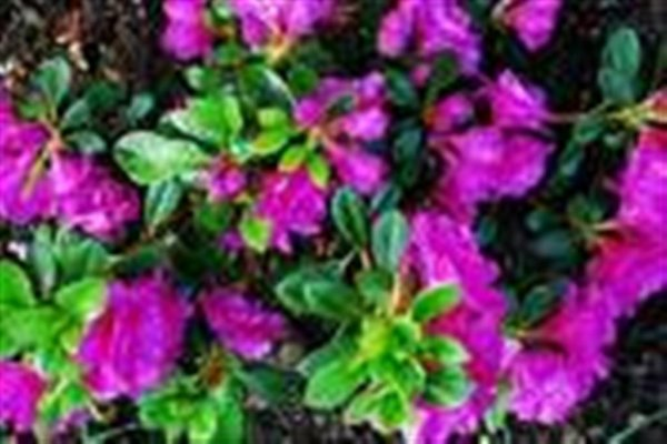 Azalea Happy Days