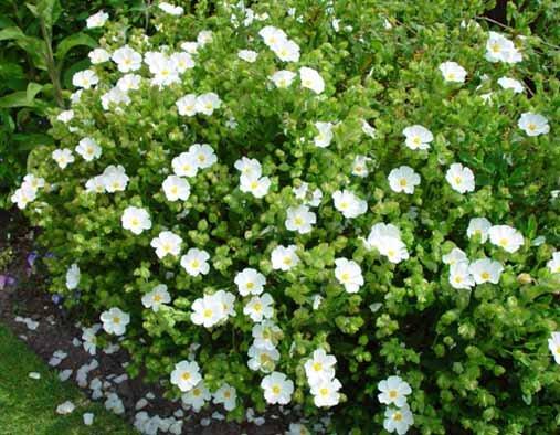 Cistus snowmound for Large flowering shrubs